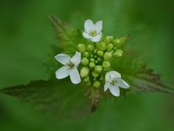 Alliaria petiolata (Löktrav), Eklanda, Mölndal. Foto: Bente Eriksen