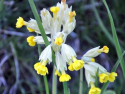 Gullviva (Primulaceae veris) , Åsvik. Foto: Andreas Wallberg