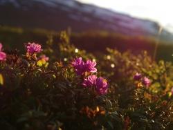 Lapsk alpros (Rhododendron lapponicum), Abisko. Foto: Anja Rautenberg