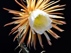 nattens_prinsessa_selenicereus_pteranthus-goteborgs-botaniska-tradgard-alexandre_antonelli