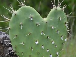 opuntia_ficus-indica-mexico-alexandre_antonelli_1
