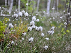 Tuvull (Eriophorum vaginatum), Åsvik. Foto: Andreas Wallberg
