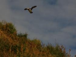 Lunnefågel (Fratercula arctica), Borgarfjördur eystri, Island. Foto: Anja Rautenberg