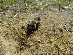 Sälgsandbi (Andrena vaga), Uppsala. Foto: Andreas Wallberg