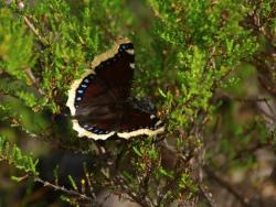 Sorgmantel (Nymphalis antiopa), Malung. Foto: Anja Rautenberg